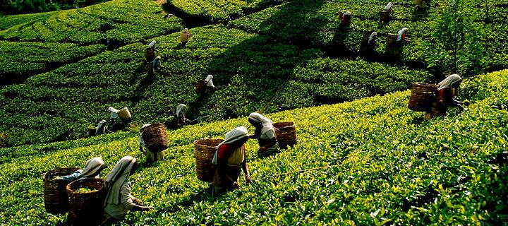 茶叶博物馆旅游图片