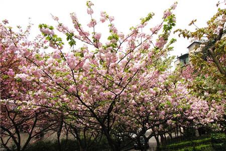 三溪园夜赏樱花会