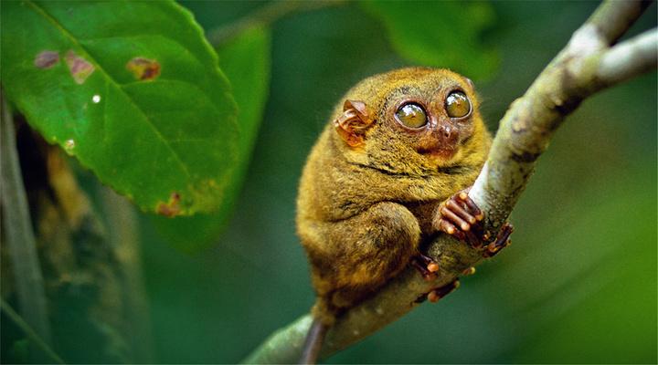 眼镜猴旅游图片