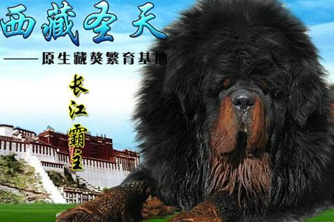 西藏圣天原生藏獒繁育基地