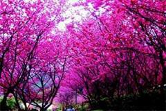 阳明山花季