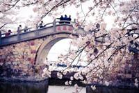 无锡太湖国际樱花节