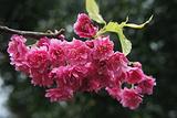 阳明山赏花