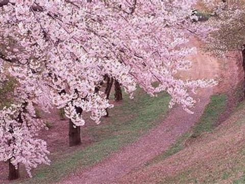 天适樱花悠乐园旅游景点图片