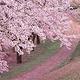 天适樱花悠乐园