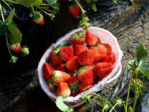 娟子草莓园旅游景点图片