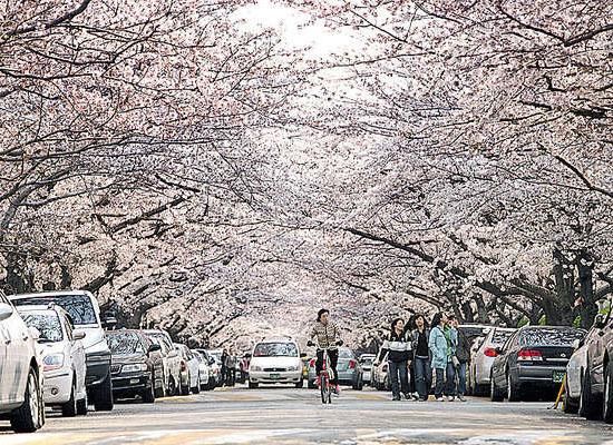 沙上樱花节