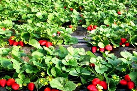 喜乐草莓园