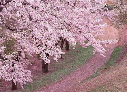 青岛樱花会