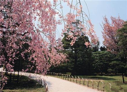 大连樱花节