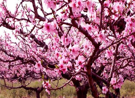 上海南汇桃花节
