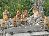 Kg. Tunggulangan长鼻猴之旅