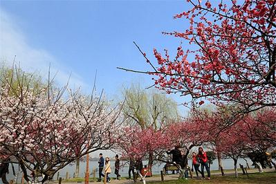 国际梅花节