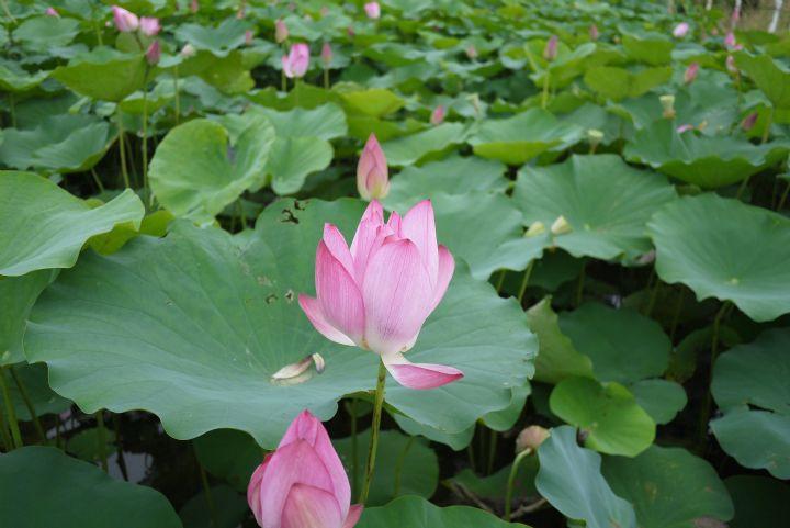 白河莲花季