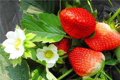 河山草莓节