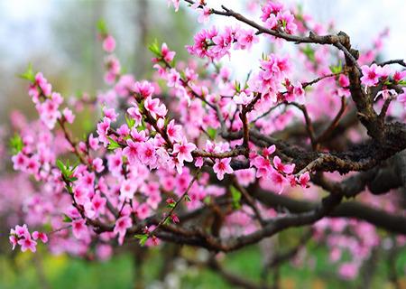 成都国际桃花节