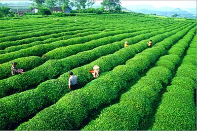 古丈小背篓茶叶厂