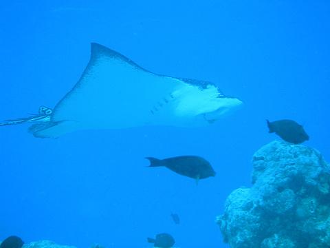 鳐鲼之都潜水点旅游景点图片