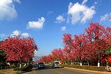红塔西路樱花大道