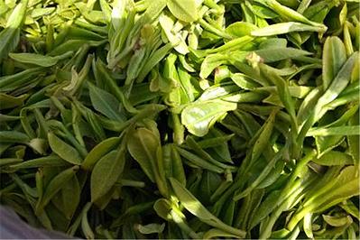 王哥庄崂山绿茶