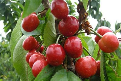 大连旅顺花果山樱桃种植采摘园