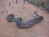 与蟒蛇亲密接触
