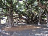 拉海纳的菩提树