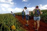 毛伊岛菠萝之旅