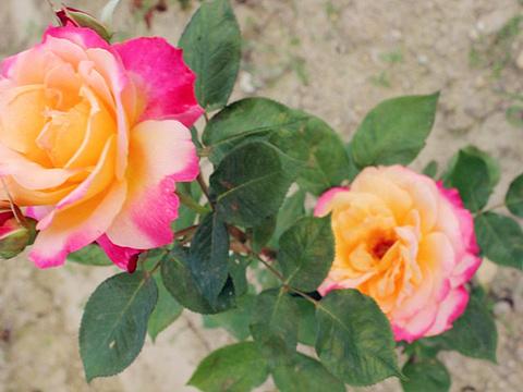 伊甸园玫瑰观光景区旅游景点图片