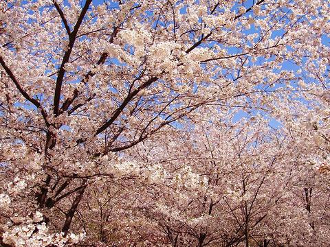 热情樱花节