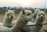 鼎梁羊驼主题乐园