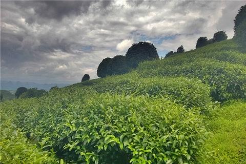 阳朔茶观园景区