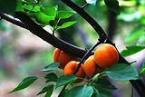 济南红玉杏