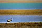 库赛湖观赏野生动物