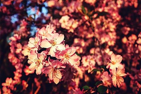 罗平樱花的图片
