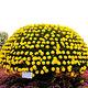 小榄菊花会