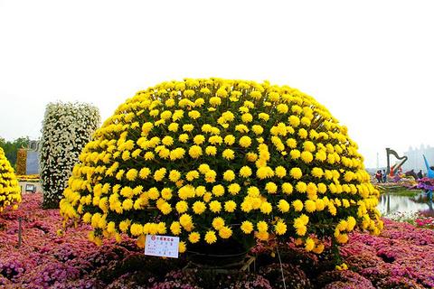 小榄菊花会的图片