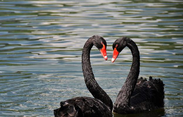 普者黑天鹅湖旅游图片