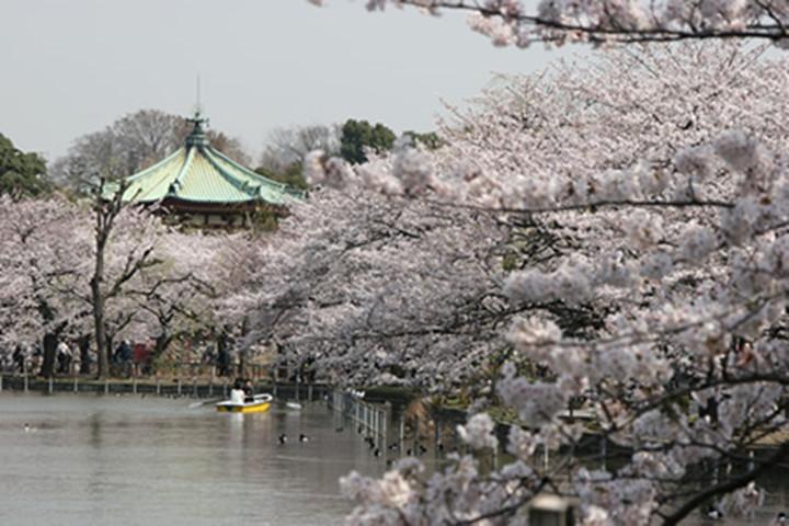 上野樱花节