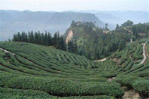 黄蜂窝茶山