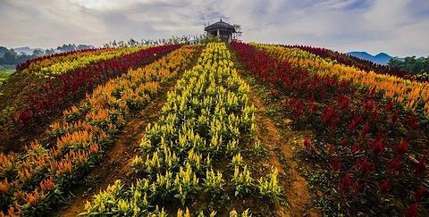 百万玫瑰梦幻花海的图片