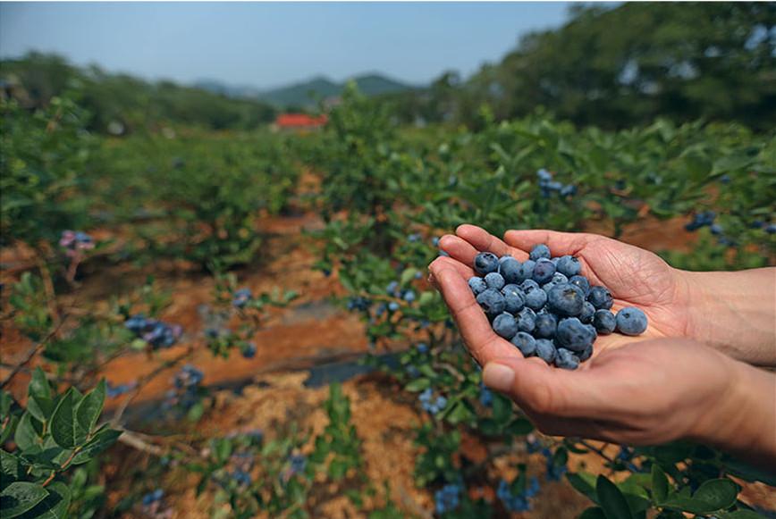 大连国际蓝莓节