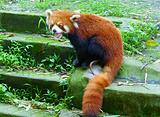 小熊猫产房