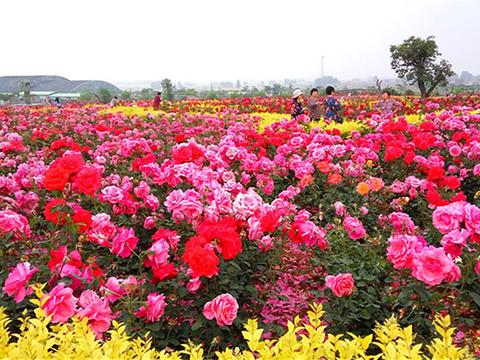 玫瑰海旅游景点图片