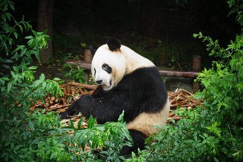 成年大熊猫别墅