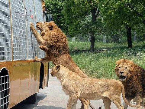 北京野生动物园猛兽体验区旅游景点图片
