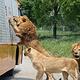 北京野生动物园猛兽体验区