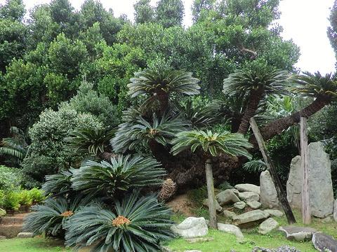 宇根大铁树旅游景点图片