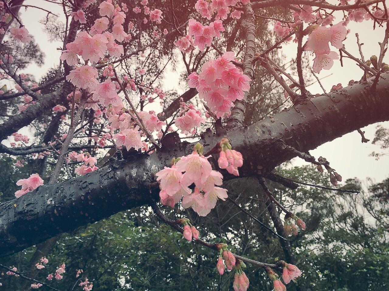 久米岛文化三日樱之旅