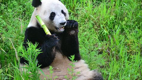 大熊猫1号别墅